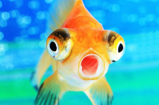 Remember the goldfish example